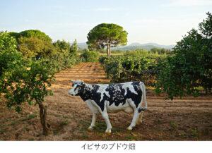 イビサのブドウ畑